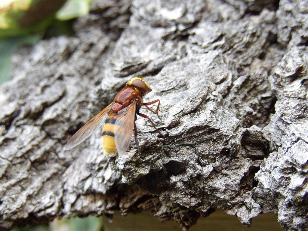 Hoornaarzweefvlieg op het dak van het bijenhotel